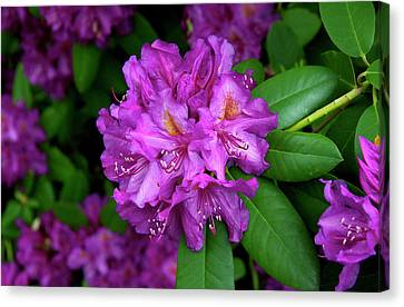 Washington Coastal Rhododendron Canvas Print by Ed  Riche