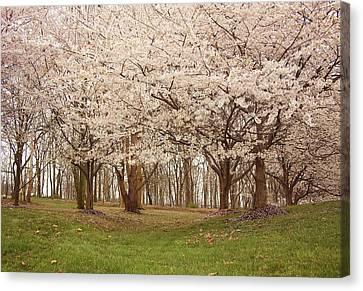 Washington Dc Cherry Blossoms Canvas Print by Kim Hojnacki