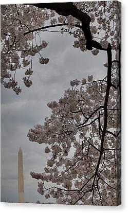 Washington Monument - Cherry Blossoms - Washington Dc - 011321 Canvas Print by DC Photographer
