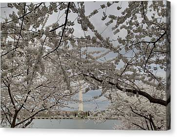 Washington Monument - Cherry Blossoms - Washington Dc - 011323 Canvas Print by DC Photographer