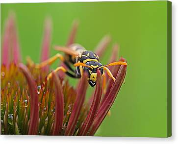 Wasp  Canvas Print by Juergen Roth