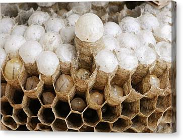 Wasp Larvae And Queen Cell Canvas Print