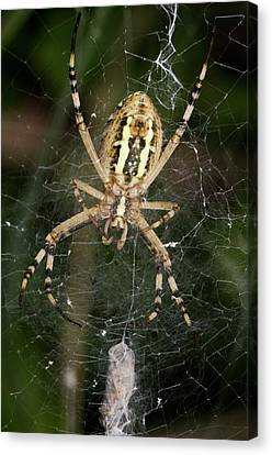 Wasp Spider And Prey Canvas Print by Bob Gibbons