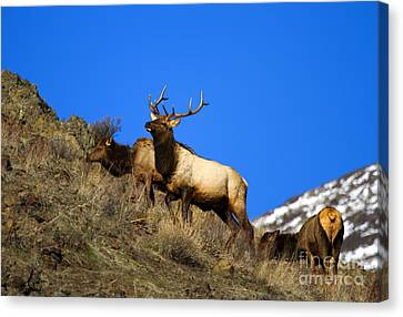 Watchful Bull Canvas Print by Mike  Dawson