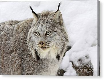 Watchful Canadian Lynx Canvas Print by Inspired Nature Photography Fine Art Photography