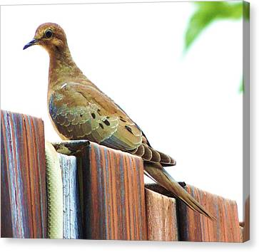 Watchful Dove Canvas Print by Helen Carson