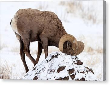 Bighorn Sheep Canvas Print - Watchful Eye by Mike Dawson