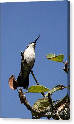 Watchful Female Hummingbird  Canvas Print by Eunice Miller