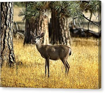 Watchful Young Buck Canvas Print