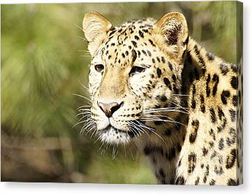 Watching Leopard Canvas Print