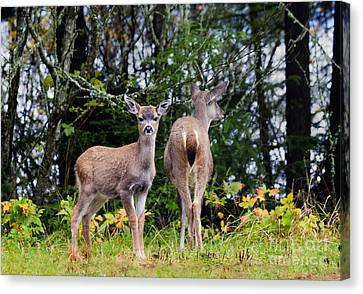 Mule Deer Canvas Print - Watching Out For Mom by Mike  Dawson