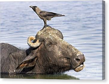 Water Buffalo And Crow Canvas Print
