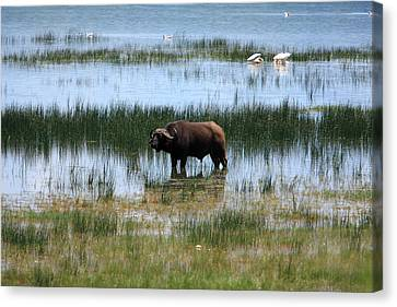 Water Buffalo At Lake Nakuru Canvas Print by Aidan Moran