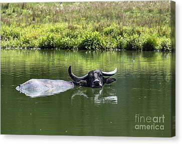 Water Buffalo Canvas Print by John Greim