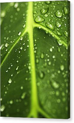 Water Drops On A Leaf Canvas Print