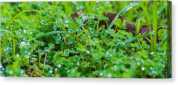 Water Drops On The  Grass 0048 Canvas Print by Terrence Downing