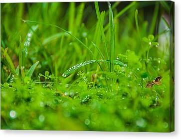 Water Drops On The  Grass 0084 Canvas Print by Terrence Downing