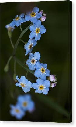 Water Forget Me Not Canvas Print by Steve Purnell