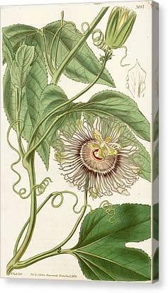 Water Lemon Passion Flower  Canvas Print by Celestial Images