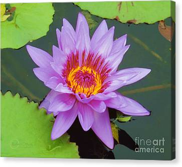 Water Lilies 005 Canvas Print by Robert ONeil