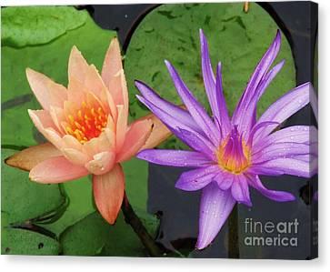 Water Lilies 011 Canvas Print by Robert ONeil