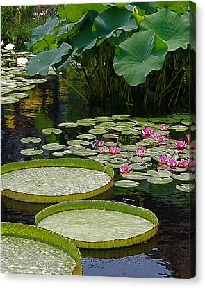 Canvas Print featuring the photograph Water Lilies And Platters And Lotus Leaves by Byron Varvarigos