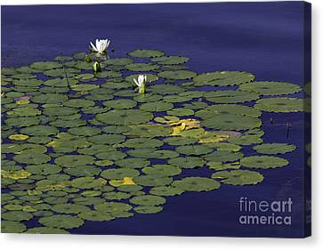 Canvas Print featuring the photograph Water Lilies by Les Palenik