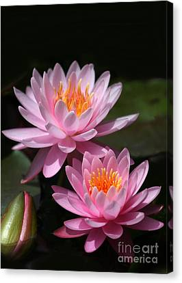 Water Lilies Love The Sun Canvas Print