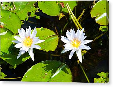 Water Lilies With Lily Pads In A Pond Canvas Print by Panoramic Images