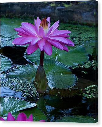 Water Lilly And Bee Canvas Print by Bonita Hensley