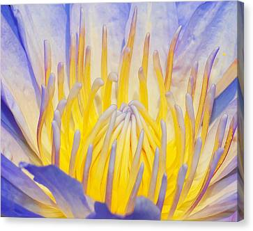 Water Lilly Canvas Print by Robert Culver