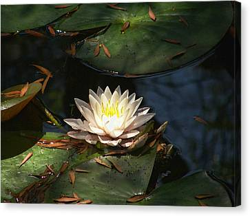 Water Lilly Canvas Print by Shannon Story