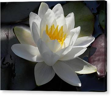 Water Lily 2 Canvas Print by Pema Hou