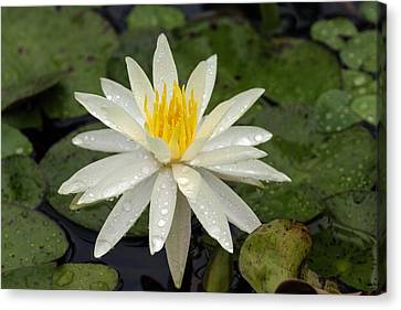 Canvas Print featuring the photograph Water Lily 5 by David Lester