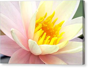 Canvas Print featuring the photograph Water Lily 6 by David Lester