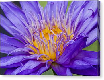 Canvas Print featuring the photograph Water Lily 7 by David Lester