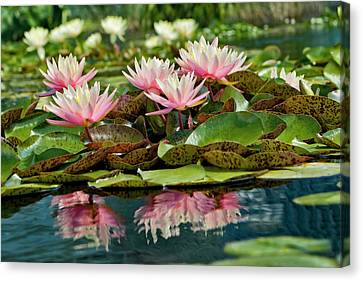 Conservatory Canvas Print - Water Lily And Lily Pads, Como Park Zoo by Adam Jones