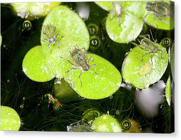 Arthropod Canvas Print - Water-lily Aphids On Duckweed by Bob Gibbons