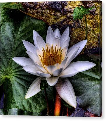Water Lily Canvas Print by David Patterson