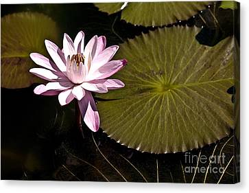 Water Lily Canvas Print by Heiko Koehrer-Wagner
