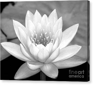 Water Lily In Black And White Canvas Print by Sabrina L Ryan
