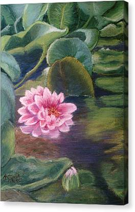 Canvas Print featuring the pastel Water Lily In Bloom  Pastel by Antonia Citrino