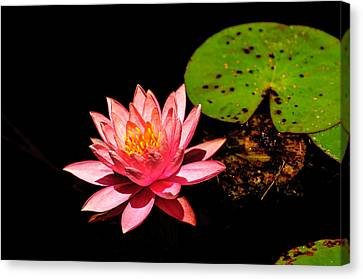 Water Lily Canvas Print by John Johnson
