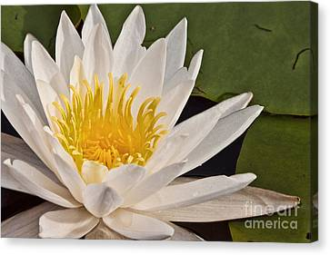 Amesbury Canvas Print - Water Lily by K Hines