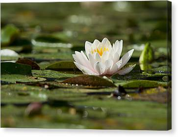 Water Lily Canvas Print by Larry Bohlin