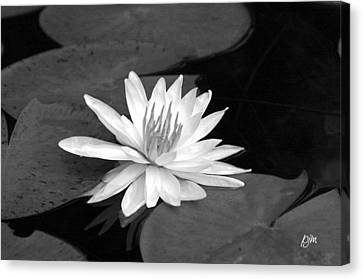 Water Lily On Pad Canvas Print