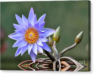 Water Lily Reflections Canvas Print by Kathy Baccari