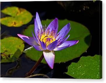 Water Lily  Canvas Print by Scott Carruthers