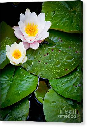 Water Lily Study Canvas Print by Inge Johnsson