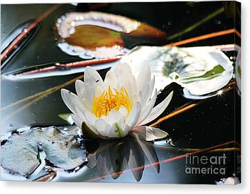 Canvas Print featuring the photograph Water Lily by Trina  Ansel